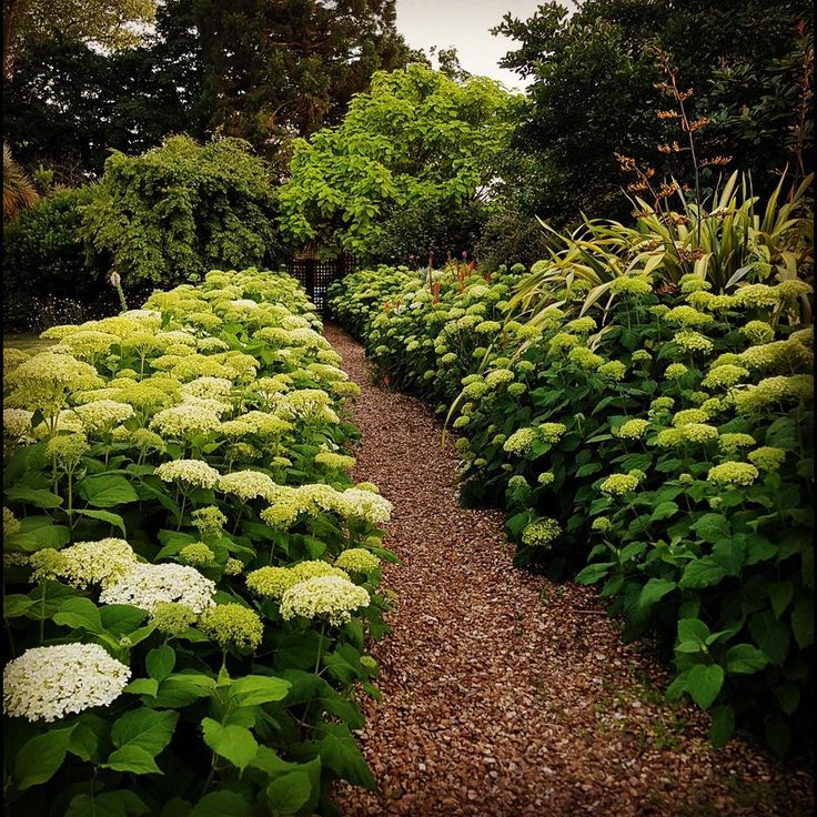 Stunning Hydrangea Annabelle make a lovely summer walkway to the Swimming pool courtyard of this Victorian rectory. Lovely to be able to cut the huge white flowers for the house over the summer#gardens #gardening #gardendesign #landscaping #landscapedesign #hampshire #southcoast #southsea #southseas #lovesouthsea #southampton #portsmouth #chichester #newforest #houseandgarden #homesandgardens #