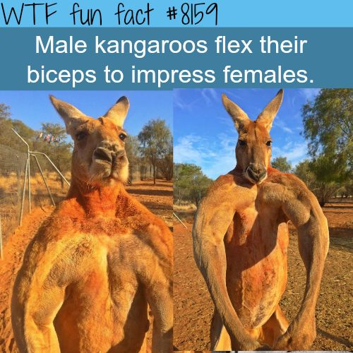 Male kangaroos flexing their muscles - WTF fun fact