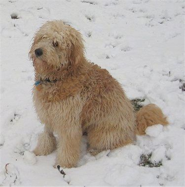 Side view - A long-coated, wavy tan Miniature Goldendoodle is sitting in snow looking to the left.