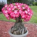 Desert Rose Plant Care