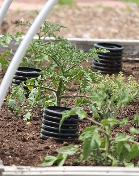 How To Deep Water Tomato Plants   For Stronger And Healthier Tomatoes.