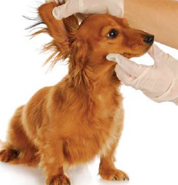Treating A Yeast Infection In Dogs Ears