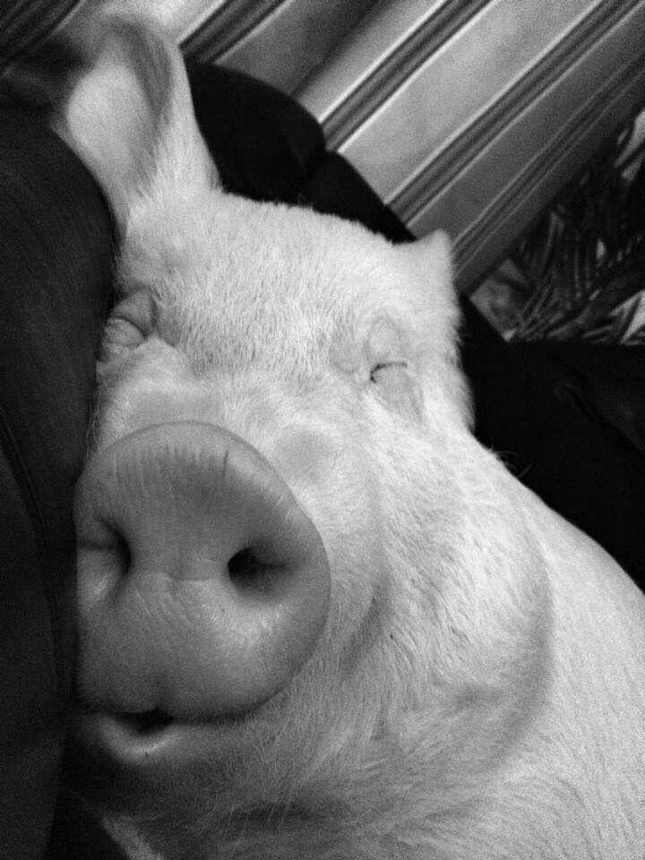 наслаждайтесь жирная свинья смешные картинки отдельных веточках головке