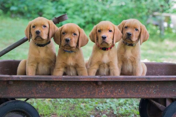 Balsam Branch Kennel Fox Red Lab Puppies Wisconsin Minnesota Lab Puppies For Sale Akc Labrador Retrieve Golden Retriever Cute Puppies Red Lab Puppies