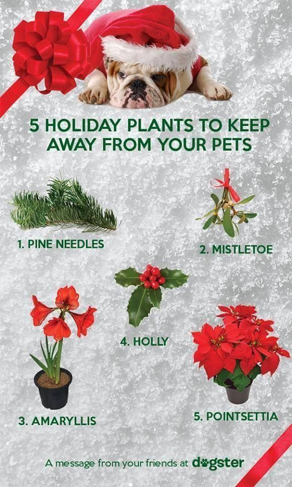 5 Holiday Plants To Keep Away From Your Pets.