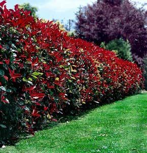 """Photinia Robusta is a small fast growing tree with glossy red foliage turning to green. It has small white flowers in Summer with red fleshy fruit following. With a dense growth habit it's great for screening.  Paul says, """"As you know, Robusta has very attractive spring growth in dark red. See attached photo of a hedge near me in Woodside. Several other cultivars are available, each slightly different. It's tough, fast growing and as a semi-formal hedge needs a trim 2-3 times a year."""""""