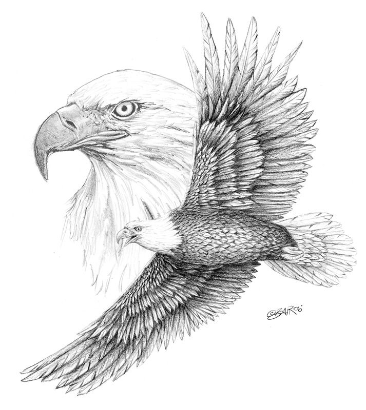 Eagle Sketches | Bald Eagle | Steve Blair Designs | Crescent-Studio