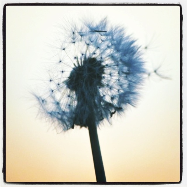 Dandelion.:*