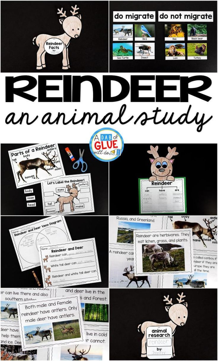 Engage your class in an exciting hands-on experience learning all about reindeer! This Reindeer: An Animal Study is perfect for science in Preschool, Pre-K, Kindergarten, First Grade, and Second Grade classrooms and packed full of inviting science activities.  Students will learn about the difference between reindeer and white tail deer, animals that migrate and not migrate, parts of a reindeer, and a reindeer can, have, are craftivity. When students are done they can complete a reindeer…