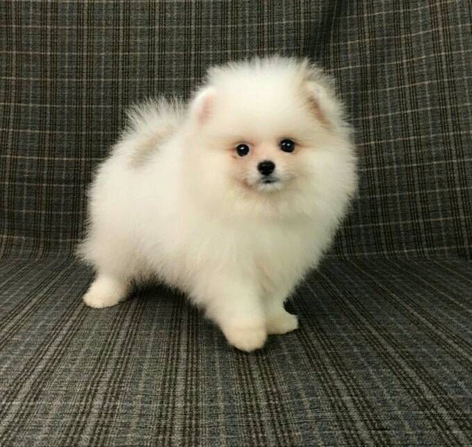 Pomeranian Puppy For Sale In San Francisco Ca Adn 72098 On