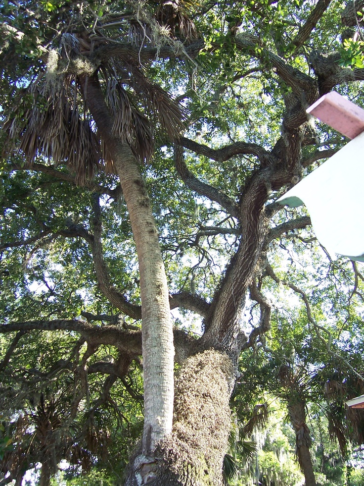 """St. Augustine """"Love Tree"""" on Cordova Street, a palm tree that actually grew from the loving embrace of a live oak. Rumor has it that a kiss in front of the Love Tree will seal two hearts forever."""