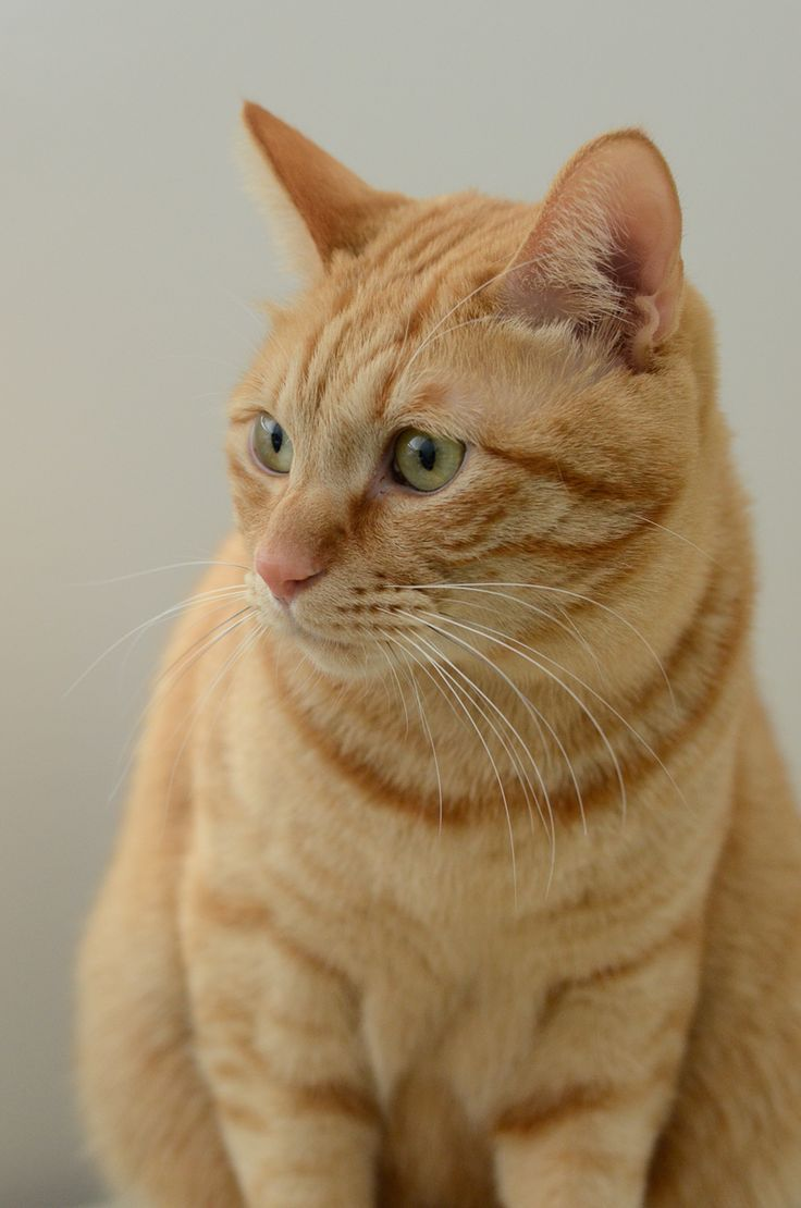 The Six Archaic Cat Speciess In Existence Is Your Cat One Of Them Cat Catbreeds Catlover Pretty Cats Orange Tabby Cats Yellow Cat