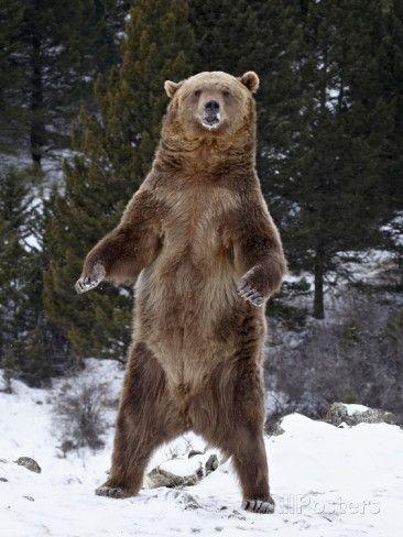 Oso Grizzly (Ursus Arctos Horribilis) De pie en la nieve, cerca de Bozeman, Monta …   – Bear ♥️