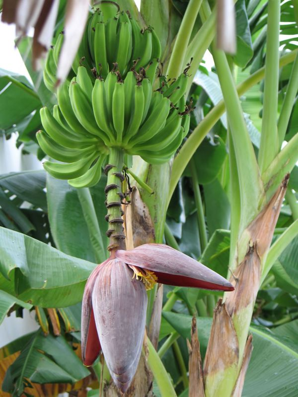 Growing Bananas - Rio Hato, Cocle Panama by Jan Alejandro Otalvaro