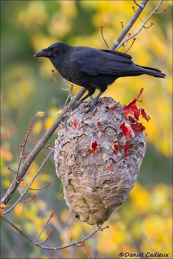 This American Crow was having a feast on hornets as it pulled them out one by one through a hole it punctured at the top of the nest. by Daniel Cadieux on 500px
