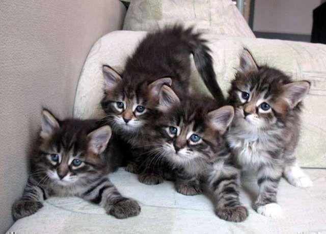 siberian cat - Google Search