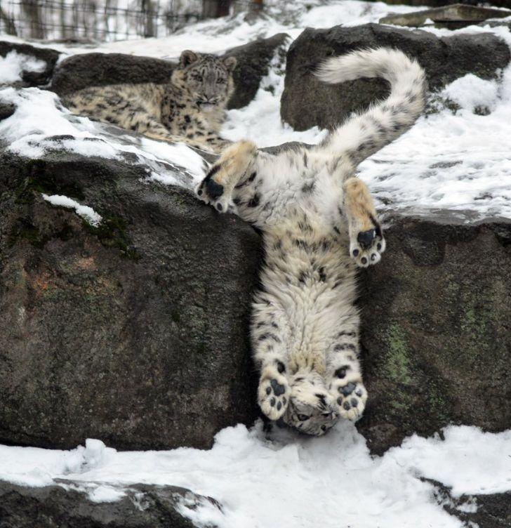 Snow Leopard...awwwww                                                                                                                                                                                 More