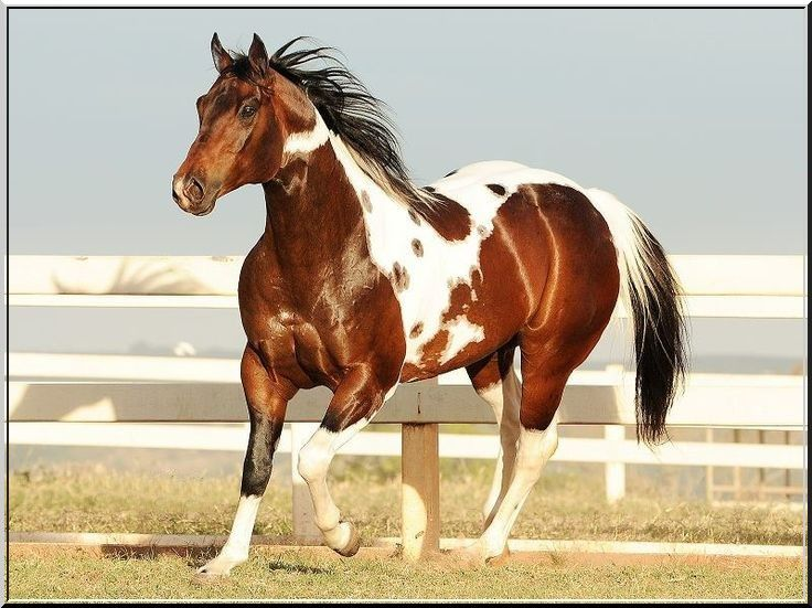 """17 Best images about Chevaux Paint-Horse """"TOBIANOS"""" on ..."""