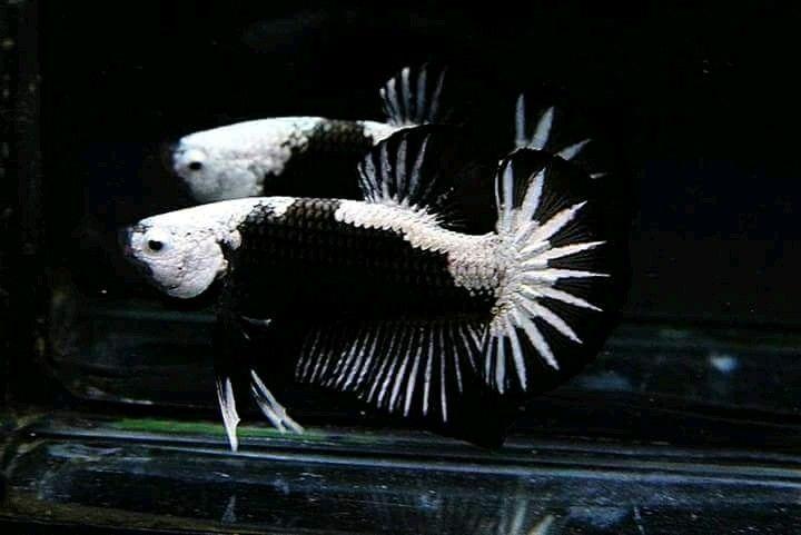 Black Samurai Hmpk Ikan Cupang Ikan