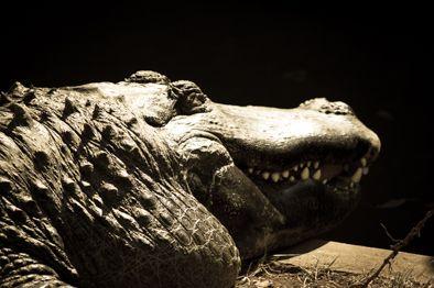 Big Croc at Pretoria Zoo.