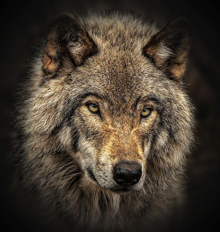 mulhouse habitat wolf close up of timber wolf photo by margaret krzepkowski u national. Black Bedroom Furniture Sets. Home Design Ideas