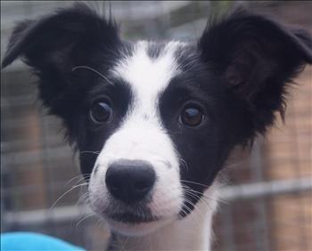 Border Collie Cross / Kelpie puppy