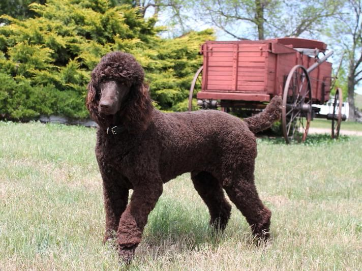 Home Standard Poodle Breeders Solo Standards