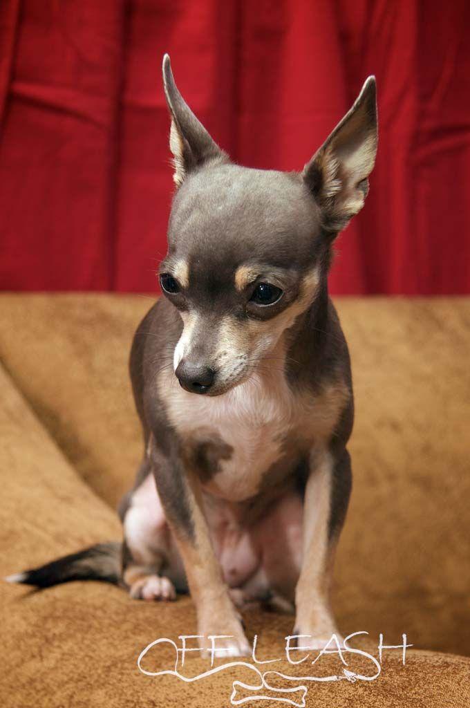 Deer Chihuahua | Blue deer head chihuahua #chihuahua # ...