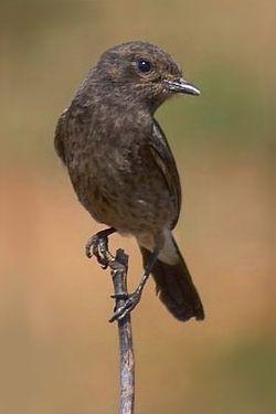 tarabilla pía1 (Saxicola caprata) es una especie de ave de la familia Muscicapidae y miembro del género Saxicola.  Se distribuye por buena parte de Asia, sobre todo en el sudeste; hacia 1950 llegaron y colonizaron Papúa Nueva Guinea.2 Habita en espacios abiertos: praderas, cultivos, sabanas y zonas de matorral.