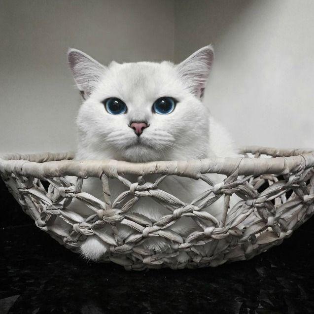 5 Instagram Accounts Cat Lovers Should Follow Cats Burmilla Cat Low Maintenance Pets