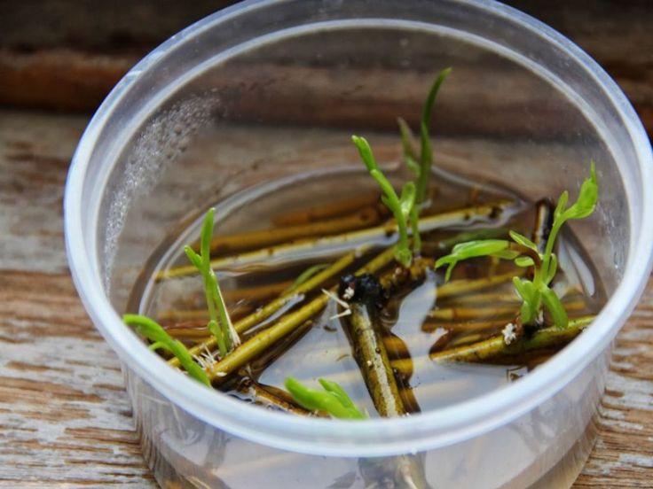 L'eau de Saule : Hormone de bouturage naturelle ! La meilleure recette consiste à plonger quelques grosses boutures de saule (peu importe l'espèce) dans une bassine d'eau pendant 2 à 3 semaines.  On obtient plein de boutures de saule prêtes à être replantées et un gel transparent restant dans la bassine. C'est ce liquide un peu visqueux qui permet de faciliter le bouturage ou encore le marcottage des plantes. Il suffit d'appliquer ce liquide à la base de vos boutures.