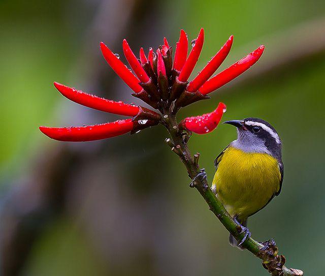 Foto cambacica (Coereba flaveola) por Ronaldo Garcia Lebowski | Wiki Aves - A Enciclopédia das Aves do Brasil