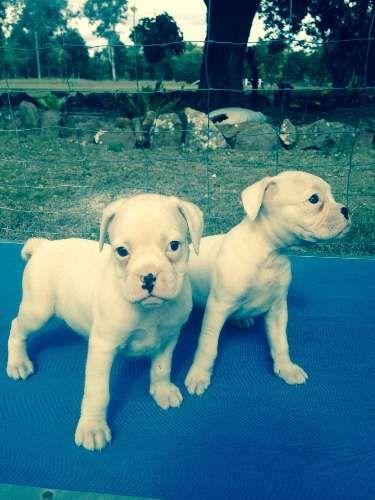 Boxer Dog For Sale Western Australia