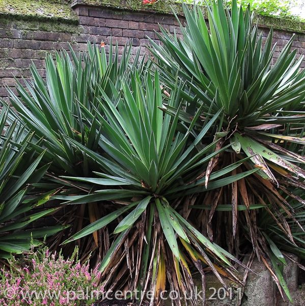 Yucca Gloriosa | Yucca gloriosa