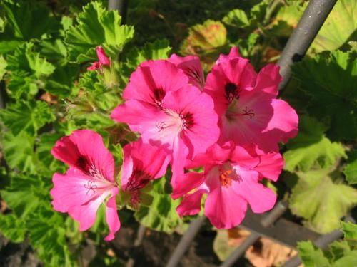 Malvon pensamiento fotos buscar con google jardineria - Geranio de pensamiento ...