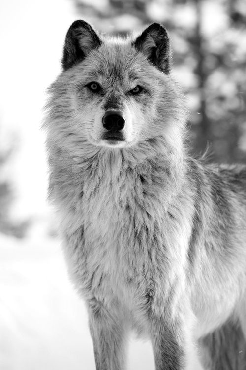 My favorite animal.I am a wolf so I mean...Smeehhh