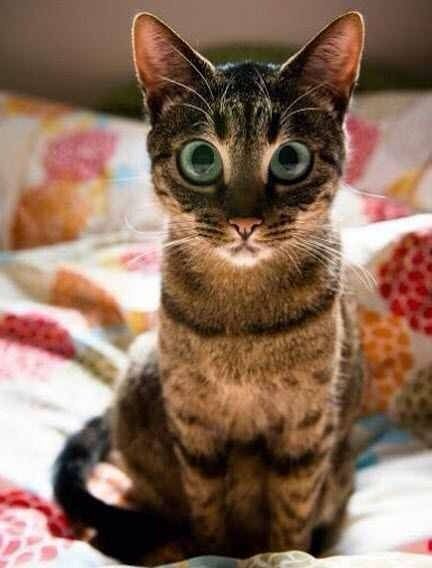 This cat looks like he should be in the movie Big Eyes