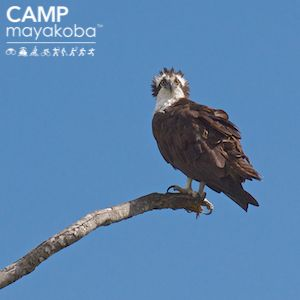 """Lucky for this osprey, it doesn't matter if you have a bad hair day on vacation! His """"hackles up"""" glare is generally not a welcoming sight, but it is stunning! # CAMPmayakoba #birdwatching #nature #beautiful #wildlife"""