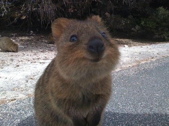Meet the Quokka, a marsupial that seems to have come straight from an animator at Disney, but is actually native to a small corner of southwestern Australia.  Unlike a frightening number of Australian animals, the Quokka poses no threat to humans, and -- as these pictures make abundantly clear -- can be quite friendly. VIDEO http://youtu.be/wFgBsFmko90