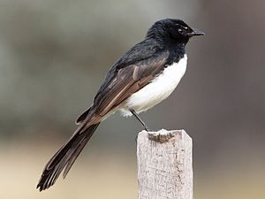 Willie Wagtail - insectivorous and spends much time chasing prey in open habitat. Its common name is derived from its habit of wagging its tail horizontally when foraging on the ground. Aggressive and territorial, the Willie Wagtail will often harass much larger birds such as the Laughing Kookaburra and Wedge-tailed Eagle. Seen at Georgie's Run - 1.3.14