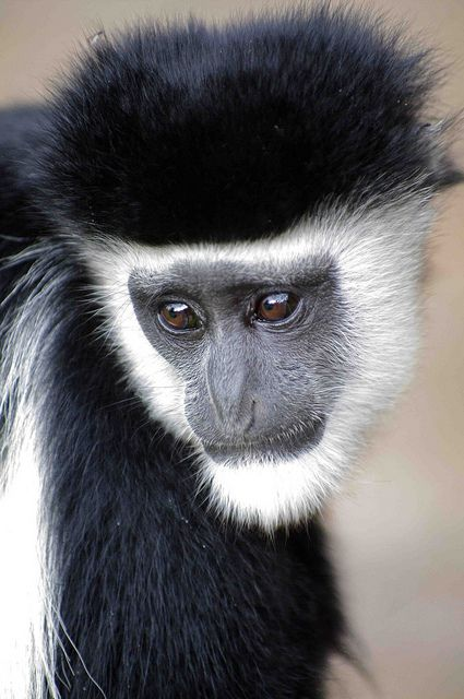 Black and White Colobus Monkey  by masaiwarrior, via Flickr