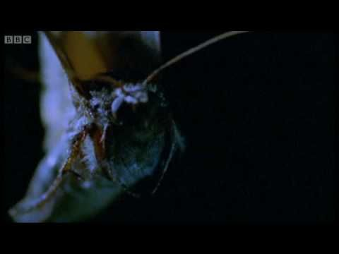 Bats hunt by echolocation but, as this mesmerising footage shows, diiferent methods for capturing prey are used by these beautiful nocturnal creatures. Visit http://www.bbcearth.com for all the latest animal news and wildlife videos and watch more high quality videos on the new BBC Earth YouTube channel here: http://www.youtube.com/bbcearth