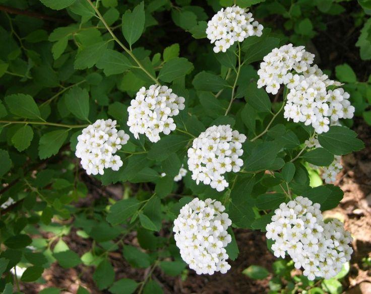 Цветки спиреи чисто белые в плотных полушаровидных соцветиях, бутоны густо покрывают дугообразный побег куста.