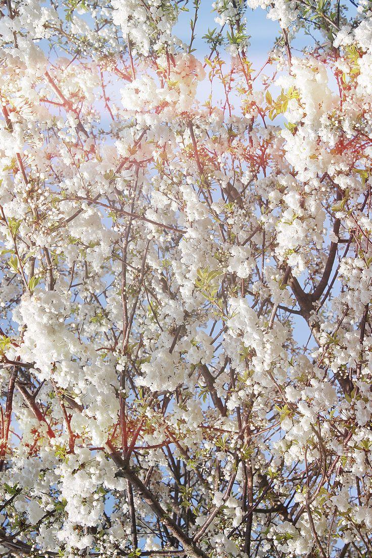 Cherry bloom digital interpretation   #spring #flowers #plants #photography