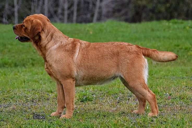 Red golden retriever puppies new england