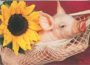 Houtland Postcard, Piglet and Sunflower