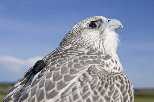 Соколы: Балобан, Кречет, Сапсан - Галереи фотографий - Соколиная охота, falconry hunt, соколы, ястребы, орлы.