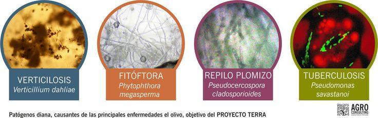 Plagas y enfermedades del olivar // Olive tree diseases and pests