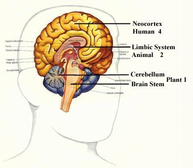While the brain may be relatively small compared to other parts of the body, the neo-cortex happens to be relatively large compared to the brain. As a matter of fact, the neo-cortex in the human brain is much larger than any other species of animal on the planet. This part of the brain is one reason why humans have become capable of so much. It has allowed us to transform from a primitive species into a technological one.