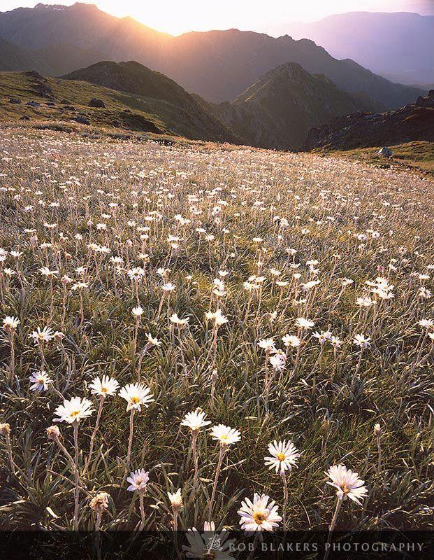 Wildflowers, Kosciuszko National Park, New South Wales
